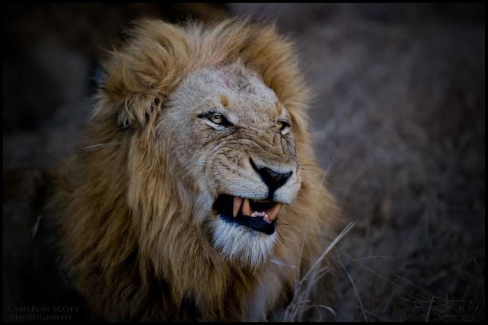 Lion (photo credit Cameron Scott)