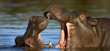 Hippos: Africa's Most Dangerous Animal