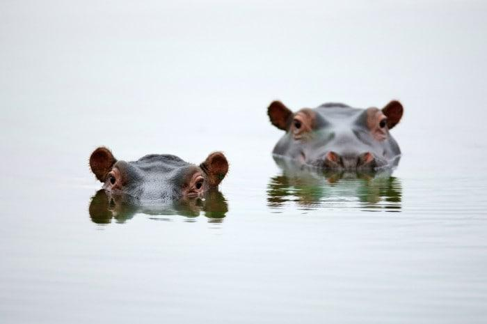 Two hippos in water