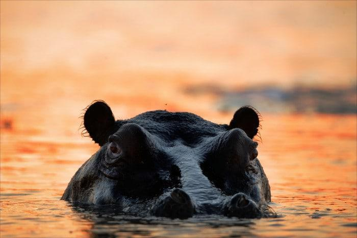 Hippo submerged in water