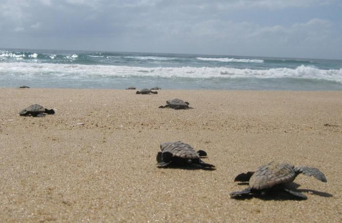 Turtle hatchlings at Rocktail Beach Camp