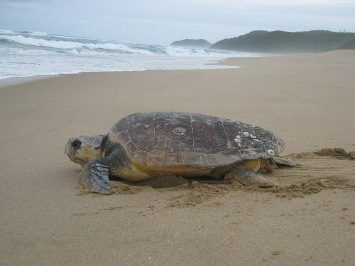 Weary female turle making way back to the ocean at Rocktail Beach Camp