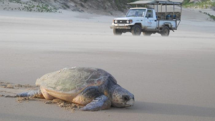 Turtle tracking at Thonga Beach Lodge pic Donna Scherer