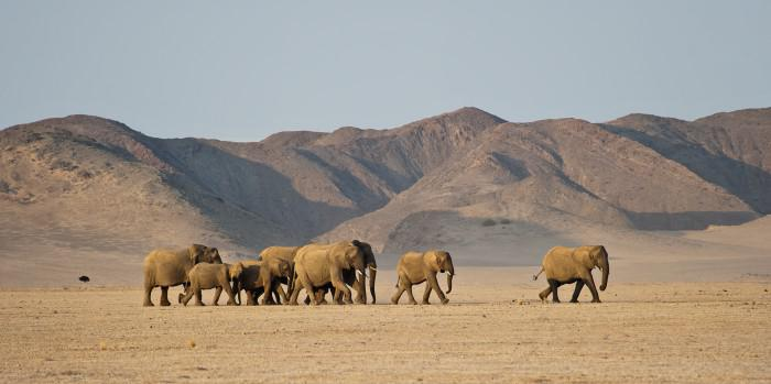 Desert elephants in Damaraland