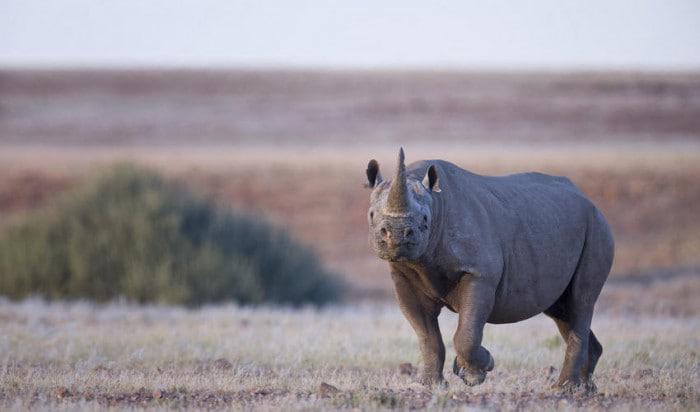 Desert Rhino Camp black rhino