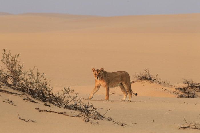 Desert lion by Dr Flip Stander desert lion