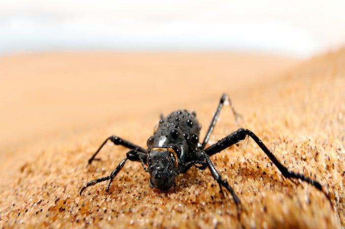 Fog beetle photo credit Solvin Zankl Photography