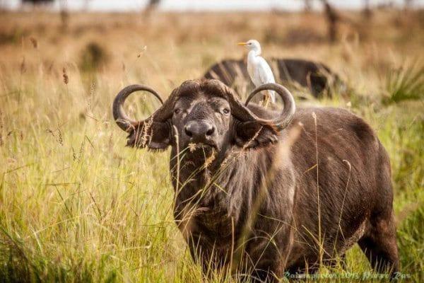 Joys Camp - Buffalo Samburu NP