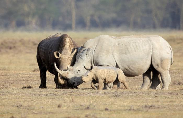 Rhino family at Kruger National Park