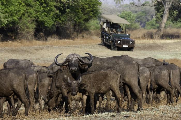 Buffaloes at Thorneybush
