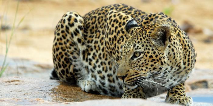 crouching_leopard_TrevorSavage Sabi Sands