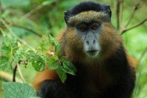 Golden_monkey