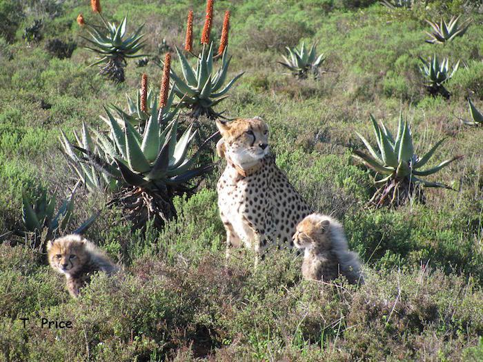 garden route game lodge cheetah