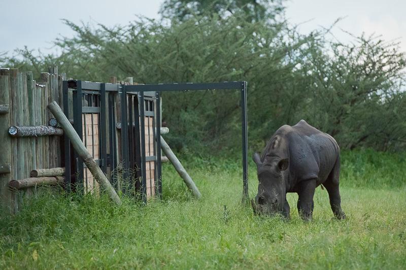 Rhino release.
