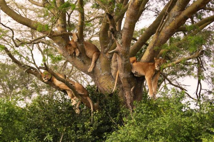 Lake Manyara Tree Climbing Lions