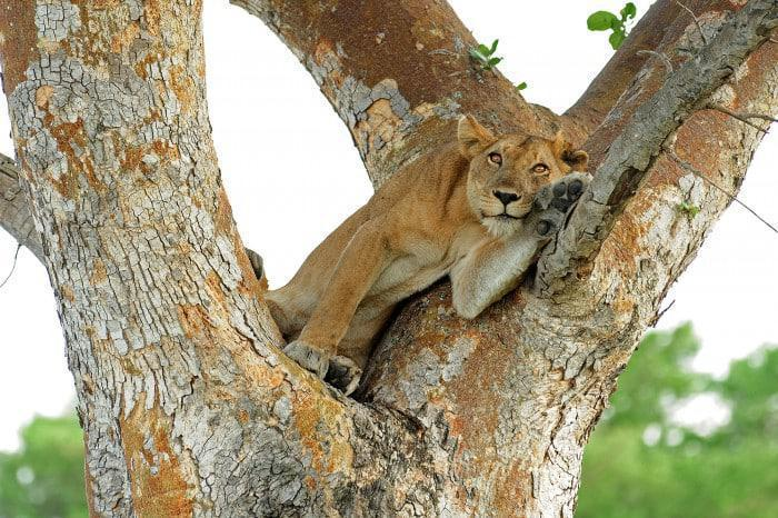 Tree Climbing Lion at Queen Elizabeth National Park