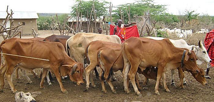 Maasai_Cattle