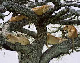 Tree climbing Lions Lake Manyara Nat Park