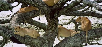 Why Do Some Lions Climb Trees? A closer look at tree climbing lions