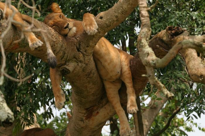 Tree climbing lions at Ishasha