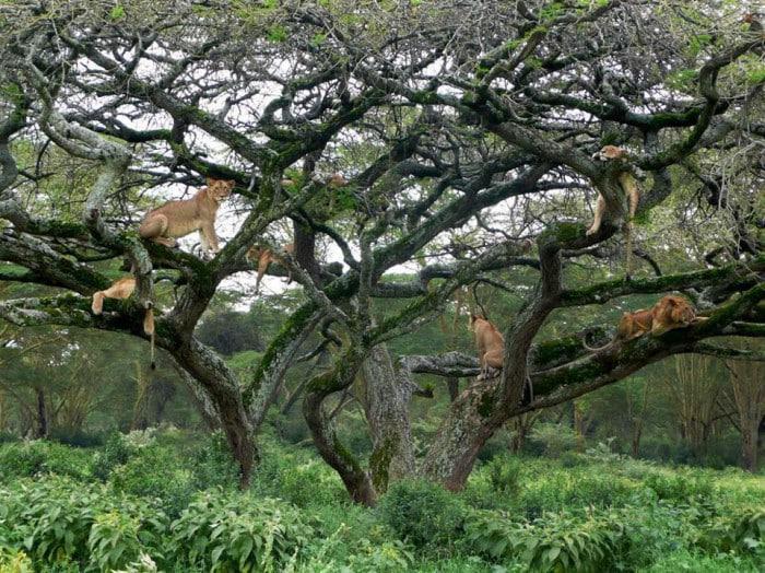 tree climbing lions in Uganda