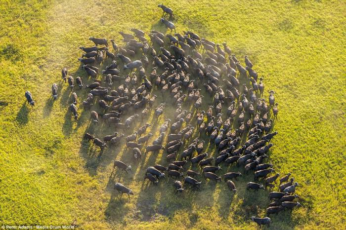 Herd of buffalo swirling in green grass of Okavango Delta pic Peter Adams