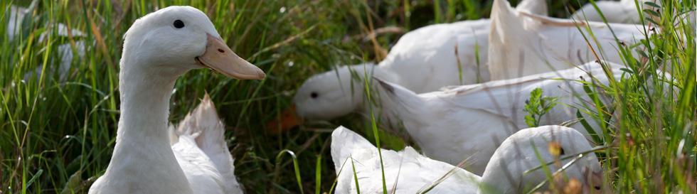 avondale duck snail patrol