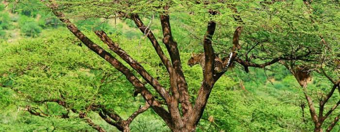 Leopard in Lower Zambezi NP
