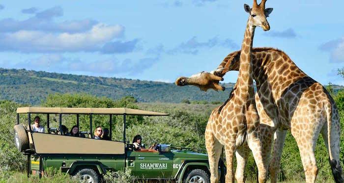 shamwari giraffe