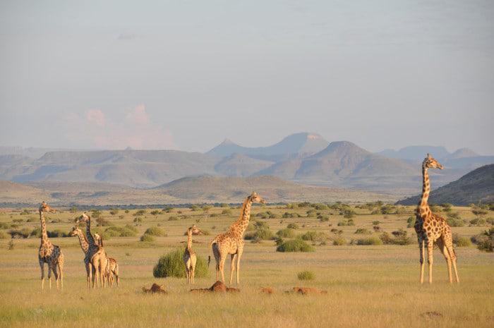 Angolan giraffe in Namibia