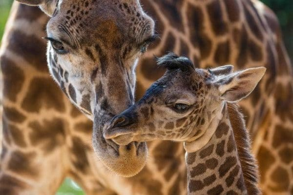 Baby Masai Giraffe with mother