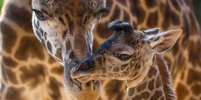Baby Masai Giraffe with mother