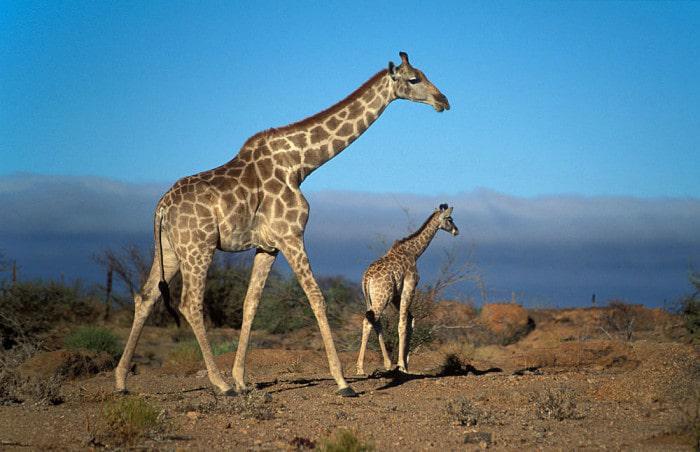 SA giraffe at Augrabies Falls NP