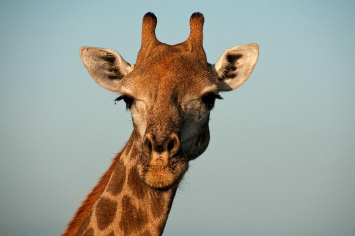 South African giraffe in Kruger park