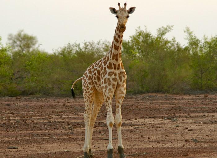 West African giraffe