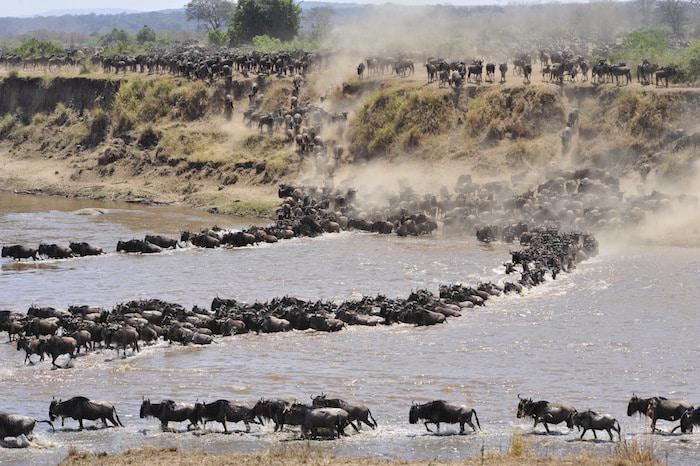 migrating wildebeest river crossing