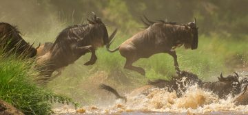 Great Migration Safaris – Where To See The Wildebeest Migration In Tanzania