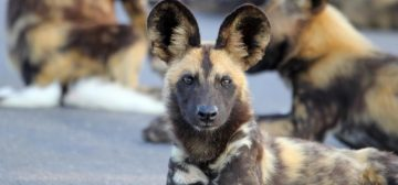 Fascinating African Wild Dog Facts And Where To See Them