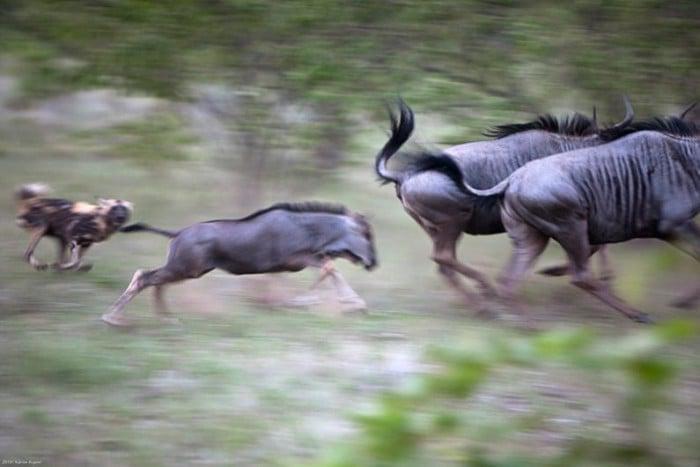 Wild Dog chase copyright Karine Aigner