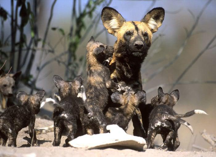 Wild Dog with pups copyright Daryl and Sharna Balfour