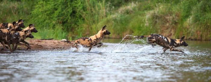 Wild Dogs copyright Karine Aigner