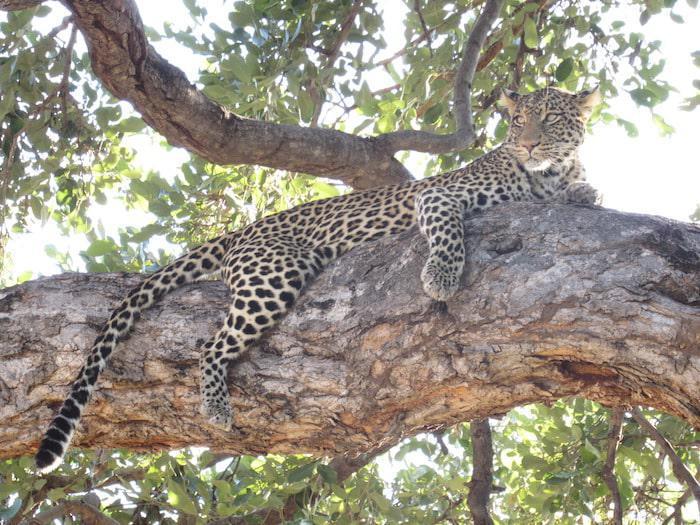 leopard-in-the-tuli-block