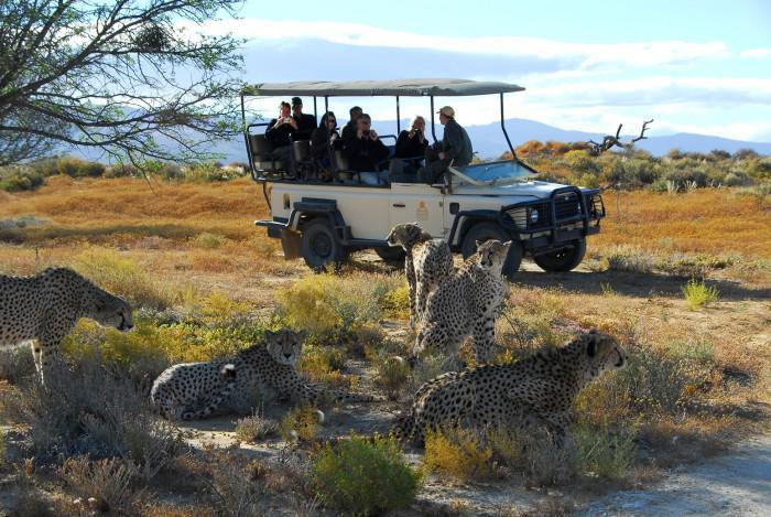 cheetahs at Inverdoorn game reserve