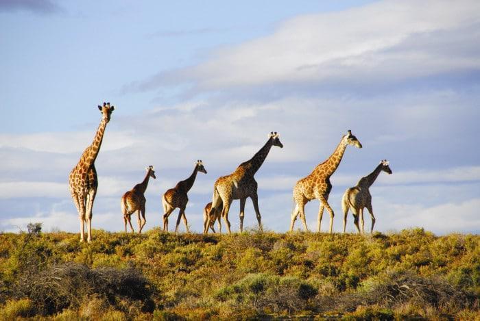 giraffes at inverdoorn game reserve