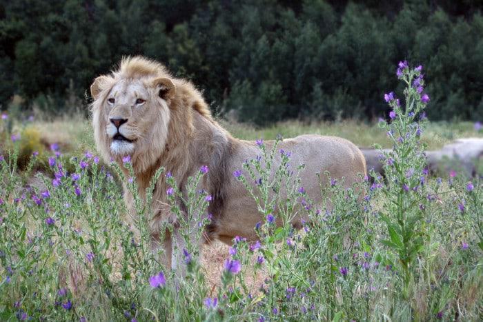 lion at fairy glen game reserve