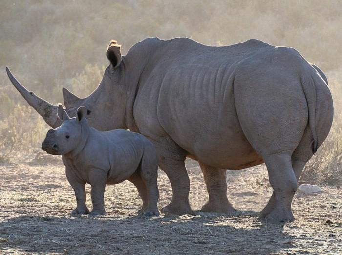 rhino and baby at aquila game reserve