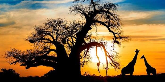 Giraffe and baobab tree silhouetted against sun in kruger national park