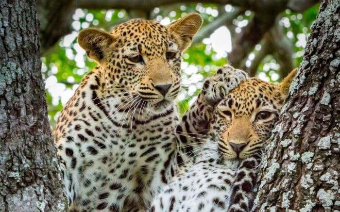 leopards at sabi sabi game reserve in Kruger national park