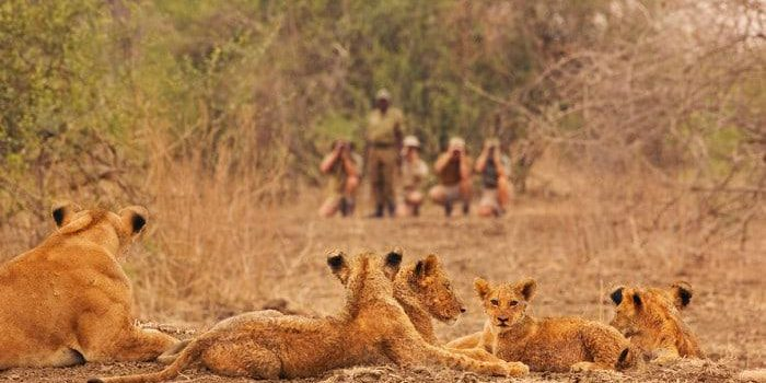 Walking safari party led by Robin Pope observing lions, Panthera leo, Luangwa Valley, Zambia