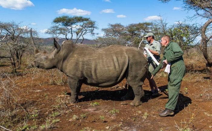 phinda game reserve white rhino capture photo peter chadwick